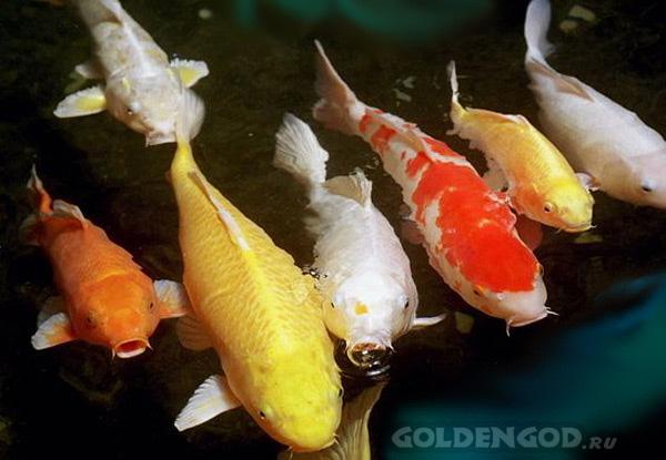 Живые золотые рыбки