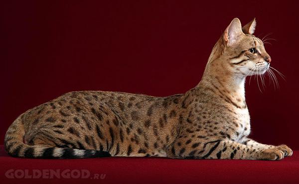 http://www.goldengod.ru/wp-content/uploads/2011/05/ashera-samaya-dorogaya-koshka-v-mire.jpg